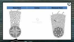 Anatomy of Flowering Plants - Difference Between Dicot And Monocot Root (Session 8)