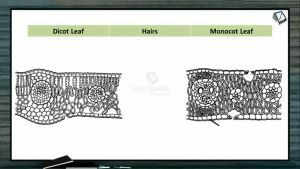 Anatomy of Flowering Plants - Difference Between Dicot Leaf And Monocot Leaf (Session 9)