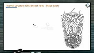 Anatomy of Flowering Plants - Internal Structure Of Monocot Root (Session 8)