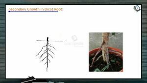 Anatomy of Flowering Plants - Secondary Growth In Dicot Root (Session 10)