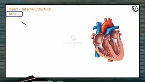 Body Fluids And Circulation - Internal Structure Of Heart (Session 8)