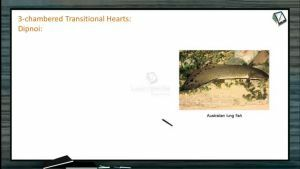 Body Fluids And Circulation - Three And Four Chambered Heart (Session 7)