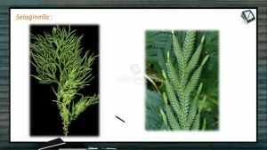 Classification of Plants - Characters Of Selaginella (Session 6)
