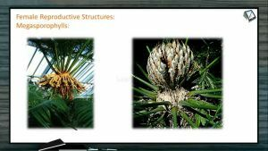 Classification of Plants - Cycas Female Reproductive Structures (Session 8)