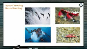 Domestication And Improvement In Animals - Types Of Breeding Fish (Session 2)