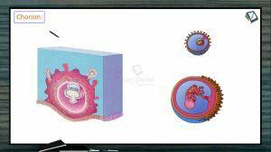 Embryonic Development - Extraembryonic Foetal Membranes Part 2 (Session 3)