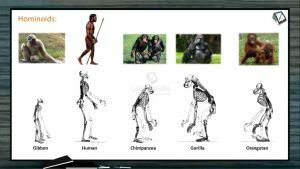 Human Evolution - Hominoids And Hominids (Session 1)