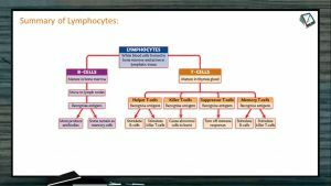 Human Health And Diseases - Summary Of Lymphocytes (Session 2)