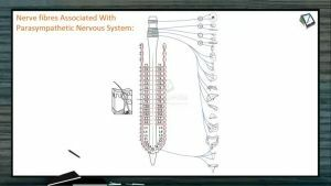 Neural Control And Coordination - Nerve Fibres Associated With Parasympathetic Nervous System (Session 6)