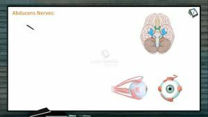 Neural Control And Coordination - Types Of Cranial Nerves -II (Session 4)