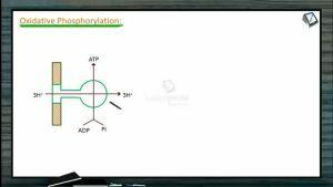 Respiration - Oxidative Phosphorylation And Inhibitors Of Ets (Session 2)