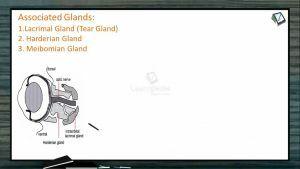 Sensory System - Eye-Associated Glands (Session 1)