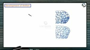 Sexual Reproduction in Flowering Plants - Development Of Anther (Session 1)
