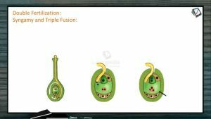 Sexual Reproduction in Flowering Plants - Double Fertilization (Session 4)