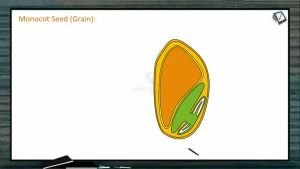 Sexual Reproduction in Flowering Plants - Monocot Seed (Grain) (Session 5)