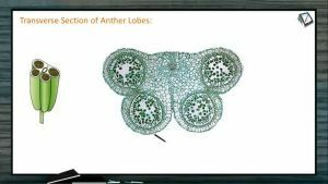 Sexual Reproduction in Flowering Plants - Transverse Section Of Anther Lobes (Session 1)